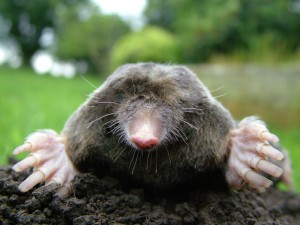Close-up_of_mole2