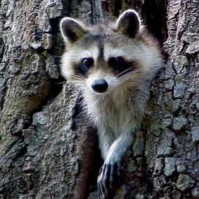 Raccoon-285